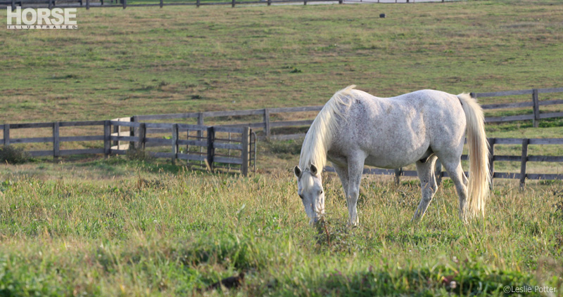 Gray horse grazing in a field