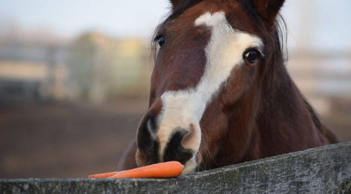 Horse eating carrot