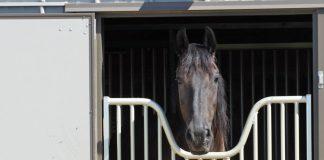 Friesian horse in a stall