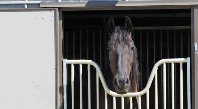 Friesian horse in a stall