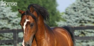 Morgan Horse running in the pasture