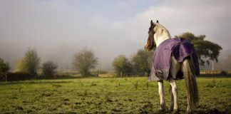 Horse in a purple blanket standing in a muddy field