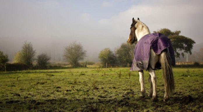 Horse in a purple blanket standing in a muddy field