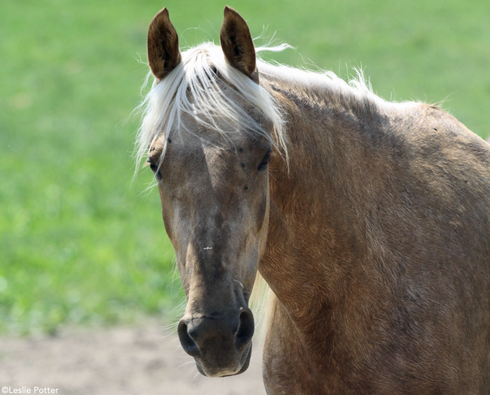 Palomino horse in the pasture