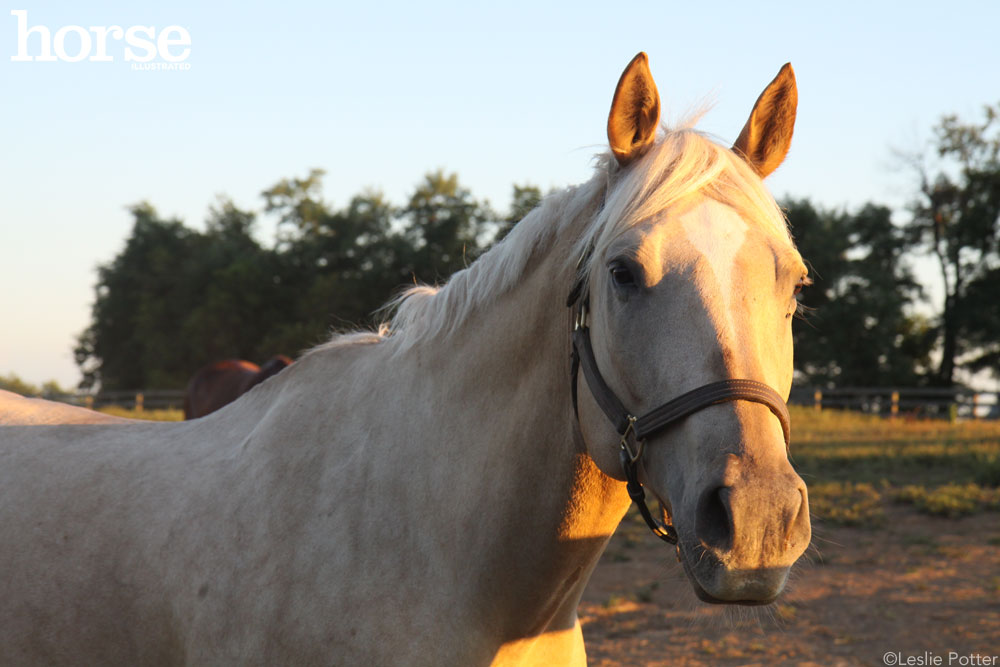 Palomino horse wearing a halter standing by a fence in late day sunlight