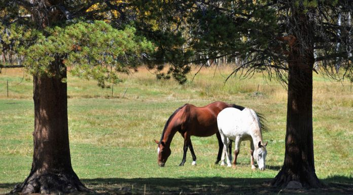 Horses grazing in a pasture surrounded by pine trees
