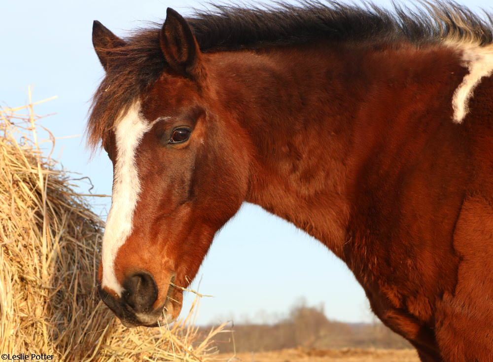 Pony eating hay from a roundbale