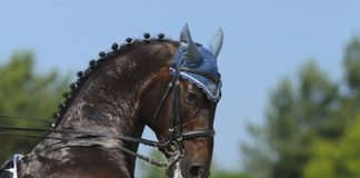 Rearing horse in dressage tack