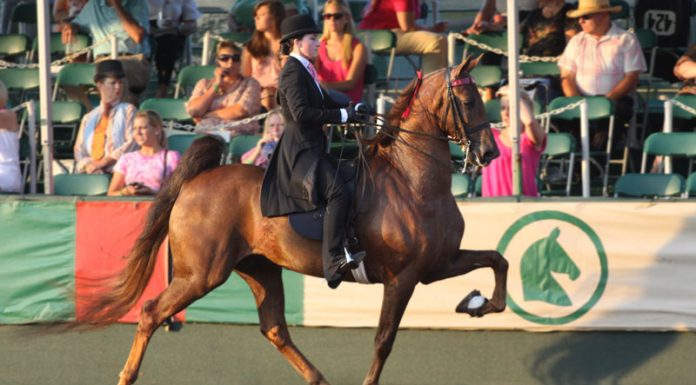 A five-gaited American Saddlebred performing at the rack.