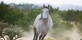 Gray Spanish Mustang