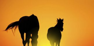 Two horses silhouetted at sunset