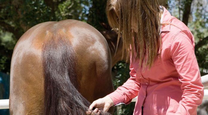 Detangling a horse's tail