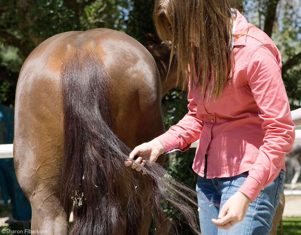 Detangling a horse's tail