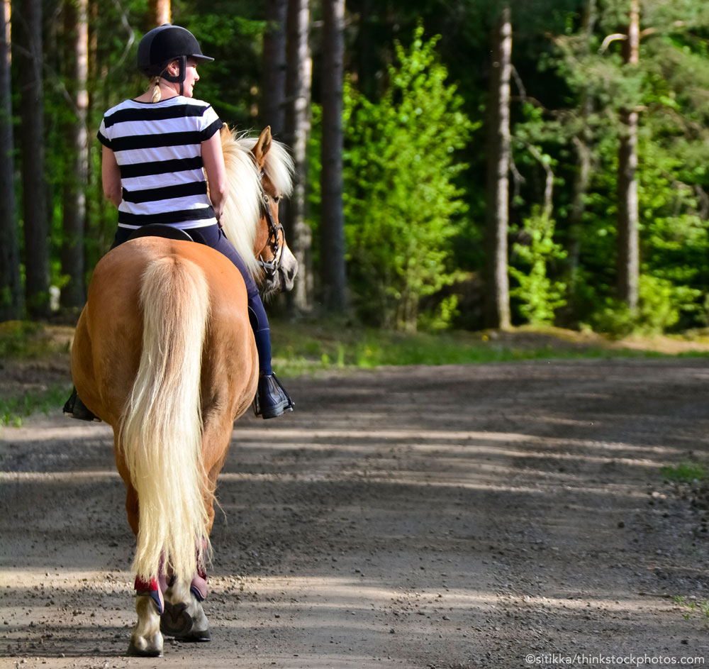 Haflinger on a trail ride