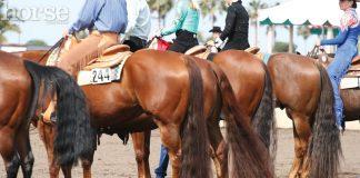 Western Quarter Horses at a horse show
