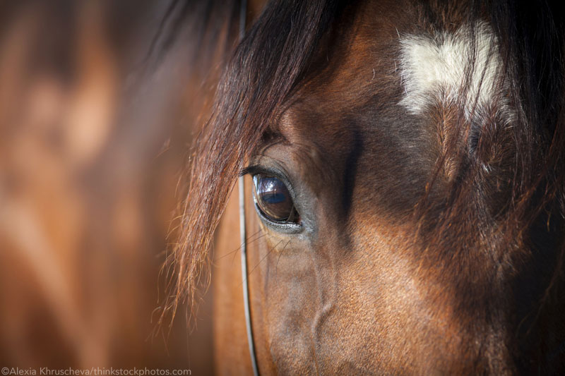 Closeup of a bay horse's face