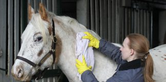 Hot toweling a horse in winter