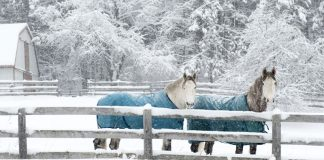 Horses wearing winter blankets