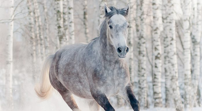 Gray horse in winter