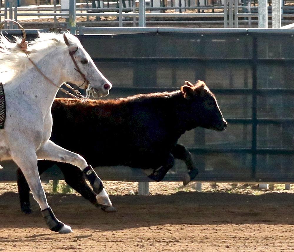 Arabian horse cutting
