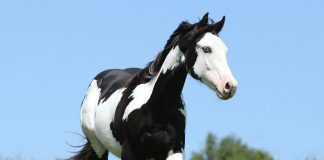 Black and white overo Paint Horse