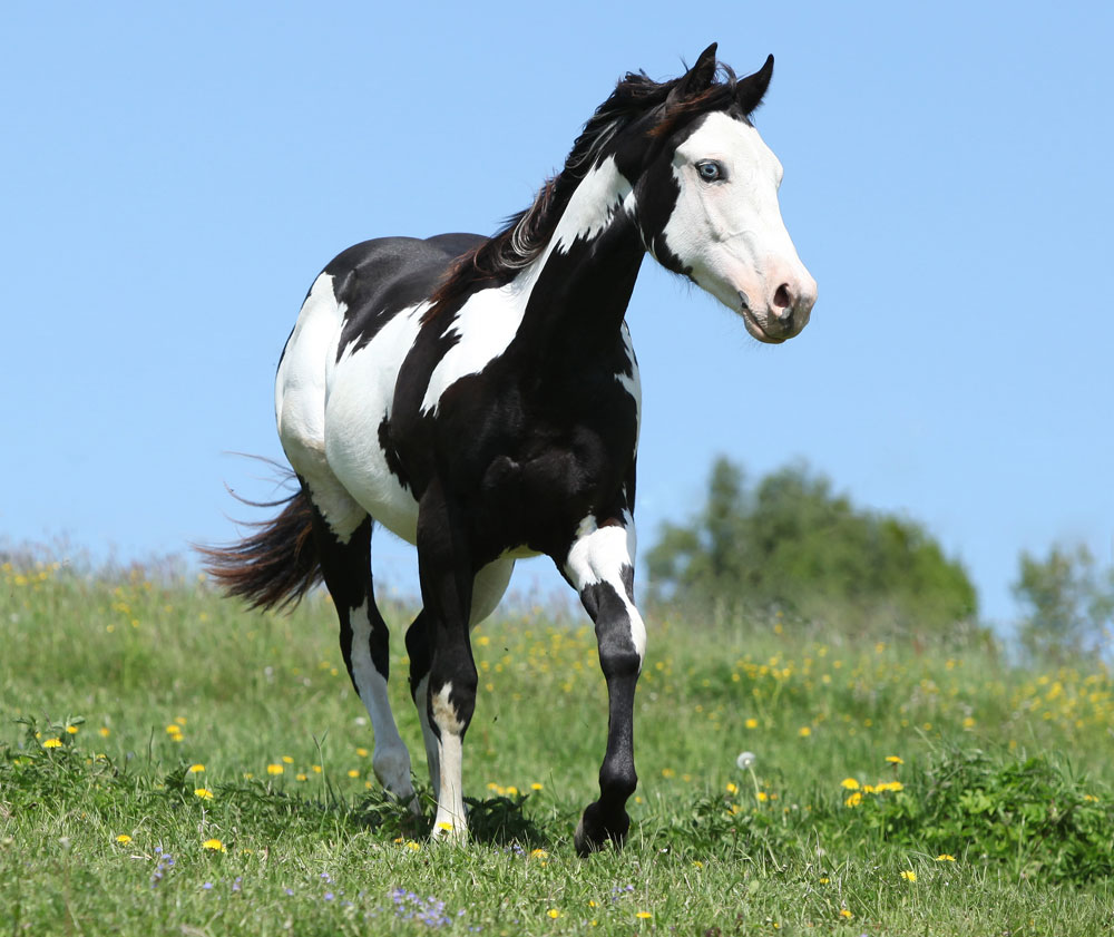 [Image: black-and-white-paint-horse-ss.jpg]