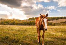 Chestnut foal in a field
