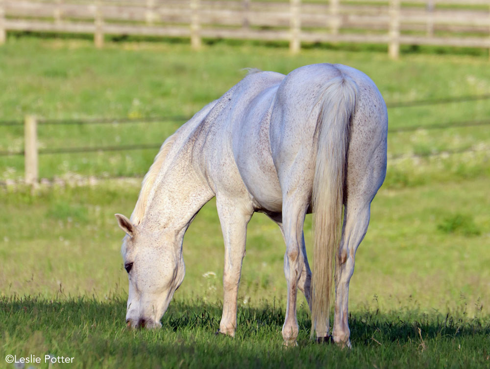 Gray pony grazing