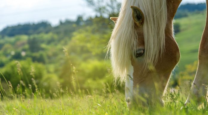 Closeup of a grazing horse
