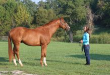 Well groomed chestnut horse