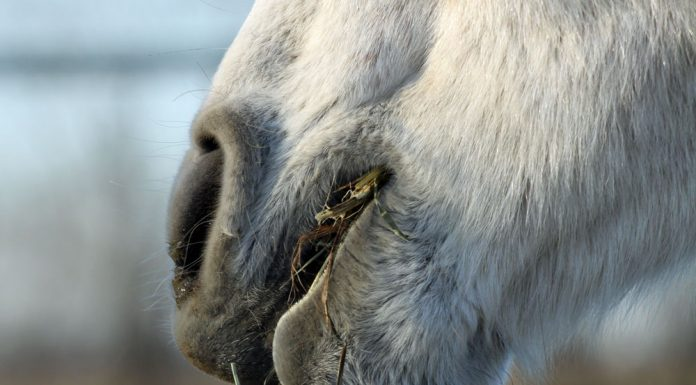 Closeup of horse eating hay