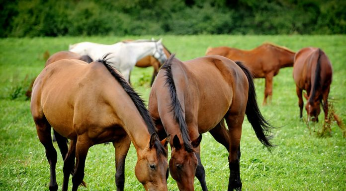 Two horses grazing together