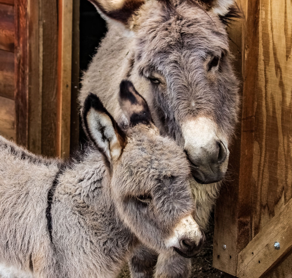 Donkey mare and foal