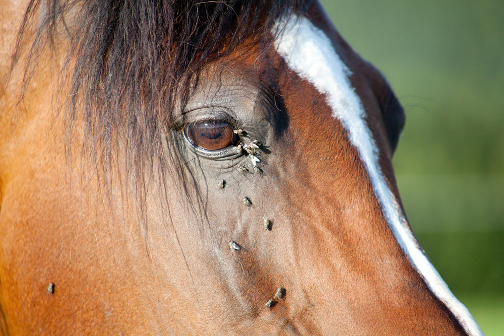 Flies around a horse's eye