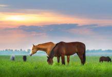 Horses grazing at sunset
