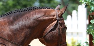 Closeup of a braided hunter show horse