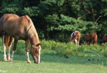 Horses in an overgrazed pasture