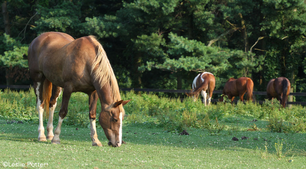 Horses in an overgrazed pasture