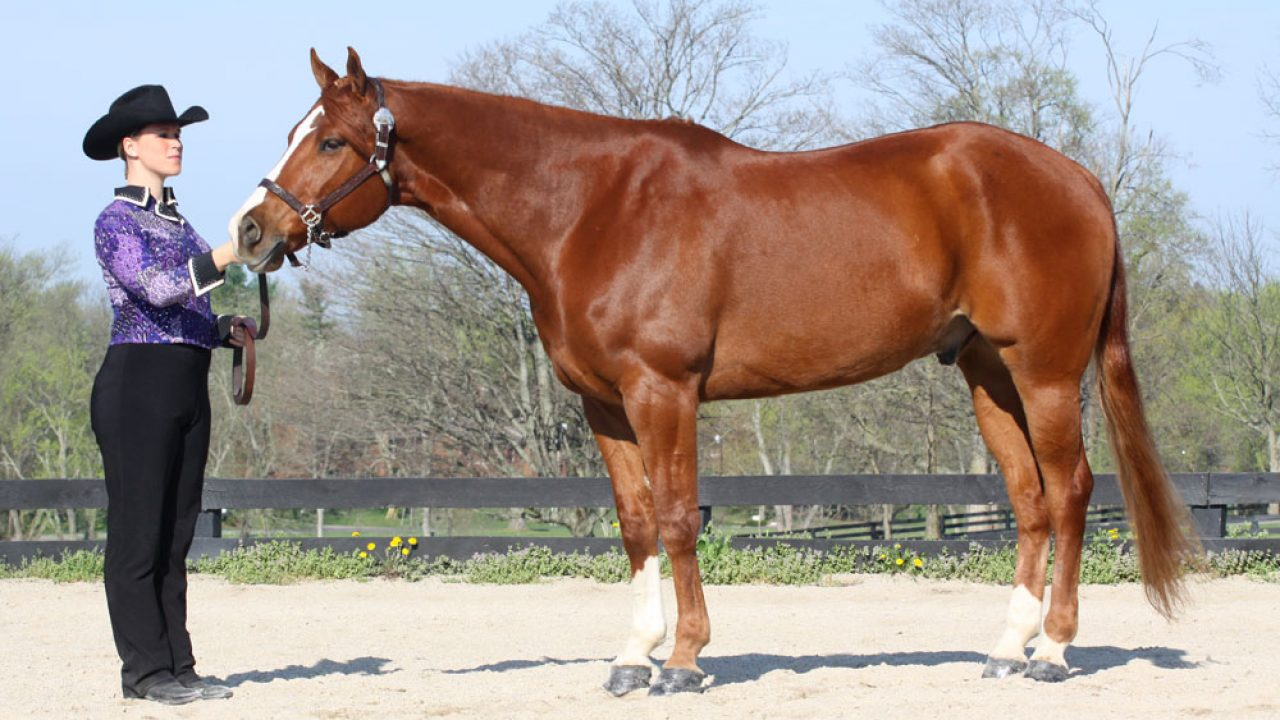 American Quarter Horse Traits And Characteristics Horse Illustrated