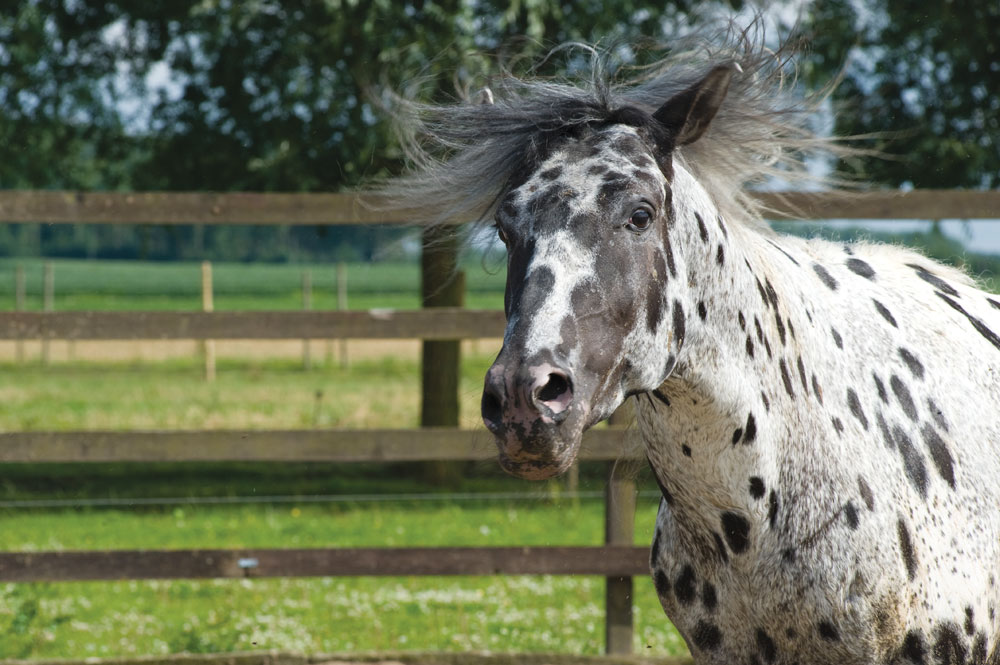 Angry Appaloosa - Horse Attacks Veterinarian