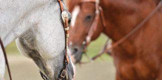 Horses in western bridles