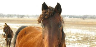 Horse with burrs in forelock