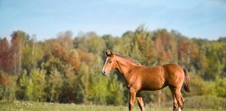Weanling horse
