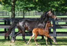 Morgan Horse Mare and Foal