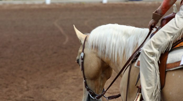 Palomino western horse