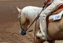 Palomino western show horse