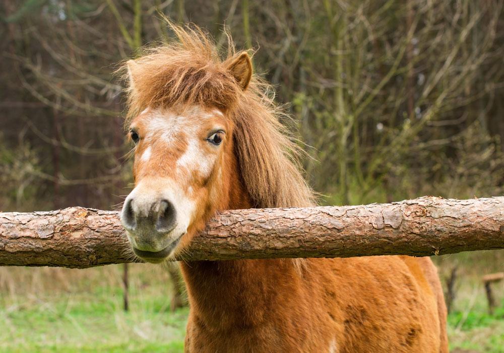 Old pony