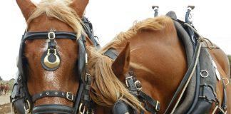 Suffolk Punch horses in harness