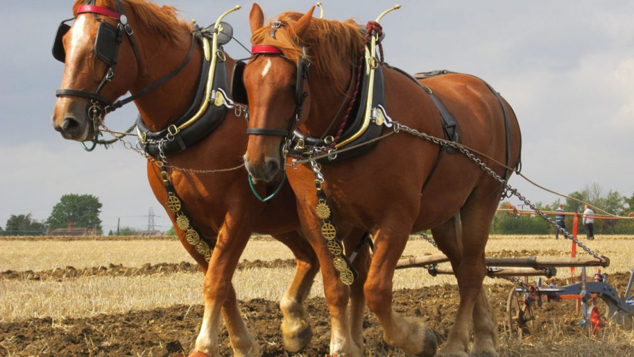 The Suffolk Punch Traits And Characteristics Horse Illustrated