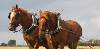 Suffolk Punch horses pulling a plow